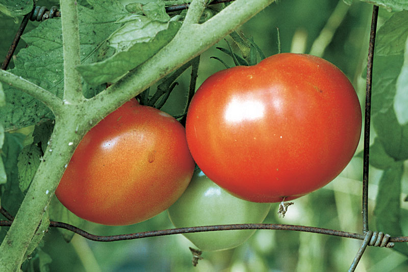 tomate- tomate