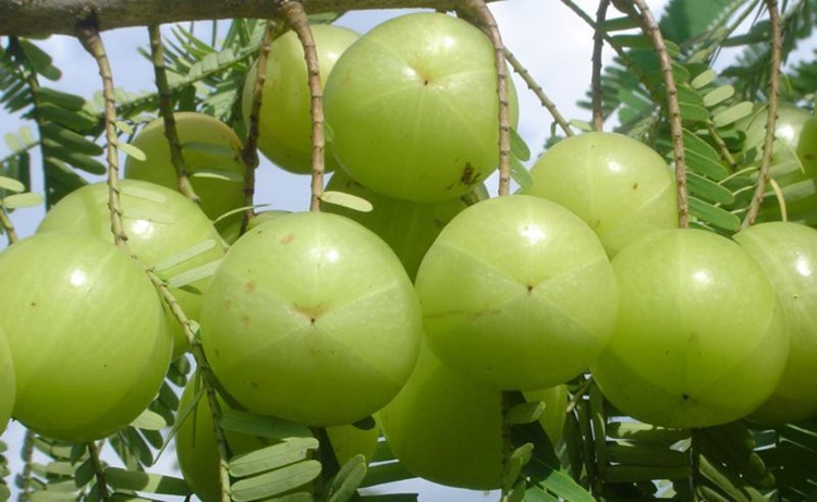 amla beneficios